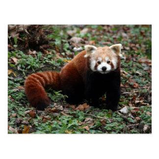 Panda roja postal