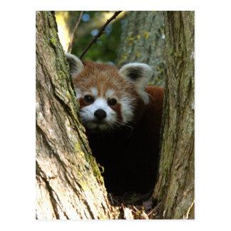 Panda roja tarjeta postal