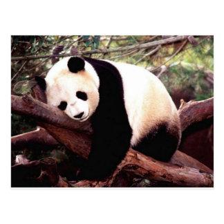 Panda soñolienta postales