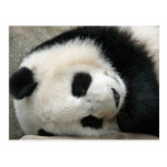 Panda Tarjeta Postal