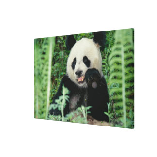 Panda the forest, Wolong, Sichuan, China Canvas Print
