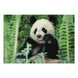 Panda the forest, Wolong, Sichuan, China Photo Print