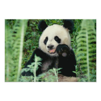 Panda the forest, Wolong, Sichuan, China Photo