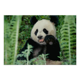 Panda the forest, Wolong, Sichuan, China Poster