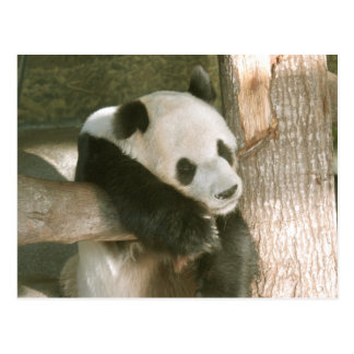 PandaM016 Postcard