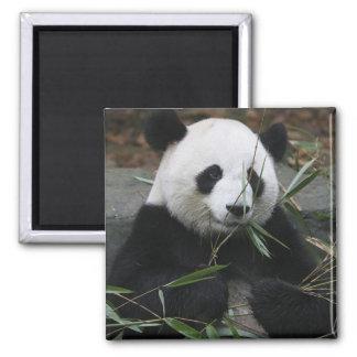 Pandas gigantes en la protección de la panda gigan iman de nevera