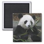 Pandas gigantes en la protección de la panda gigan imán cuadrado