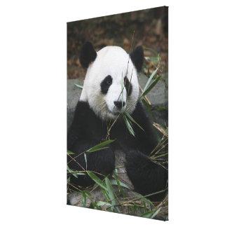 Pandas gigantes en la protección de la panda gigan impresion de lienzo