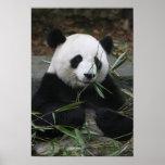 Pandas gigantes en la protección de la panda gigan posters