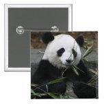 Pandas gigantes en la protección de la panda gigan pin cuadrado