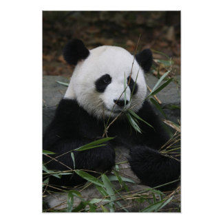 Pandas gigantes en la protección de la panda gigan póster