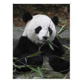 Pandas gigantes en la protección de la panda gigan tarjetas postales
