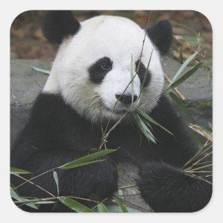Pandas gigantes en la protección de la panda pegatina cuadrada