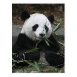 Pandas gigantes en la protección de la panda tarjeta postal