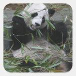 Pandas gigantes en la protección y los 2 de la pegatina cuadrada