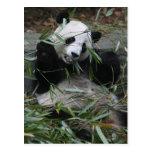 Pandas gigantes en la protección y los 2 de la tarjeta postal