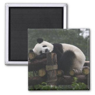 Pandas gigantes en la protección y los 3 de la pan imán cuadrado