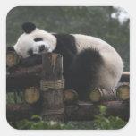 Pandas gigantes en la protección y los 3 de la pan pegatina cuadradas