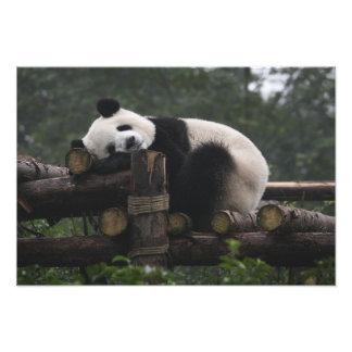 Pandas gigantes en la protección y los 3 de la pan impresión fotográfica