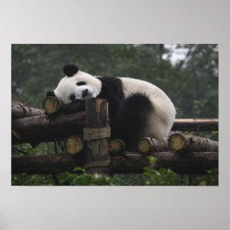 Pandas gigantes en la protección y los 3 de la pan póster