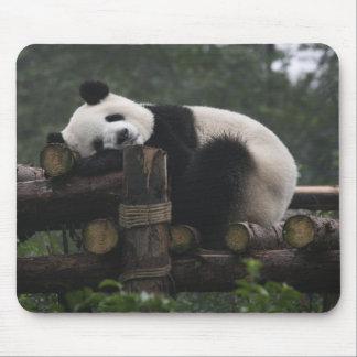 Pandas gigantes en la protección y los 3 de la pan tapete de ratón