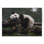 Pandas gigantes en la protección y los 3 de la pan tarjetas