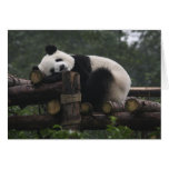 Pandas gigantes en la protección y los 3 de la pan tarjeta de felicitación