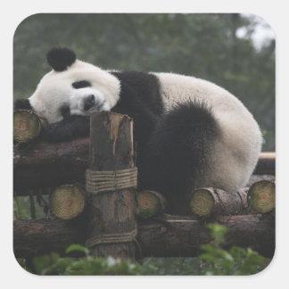 Pandas gigantes en la protección y los 3 de la pegatina cuadrada