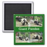 pandas gigantes imán de frigorifico