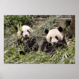 ¡Pandas que comen el bambú! Póster