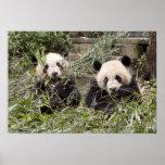 ¡Pandas que comen el bambú! Posters