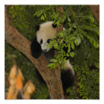 PandaSD004 Posters