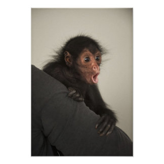 paniscus Rojo-hecho frente del Ateles del mono de  Póster