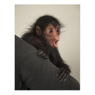paniscus Rojo-hecho frente del Ateles del mono de Tarjeta Postal