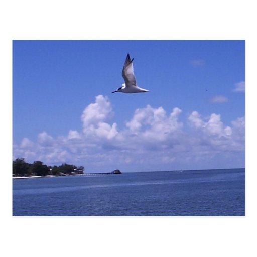 Panned Gull Postcard