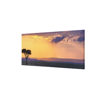 Panoramic view of single acacia tree at canvas print