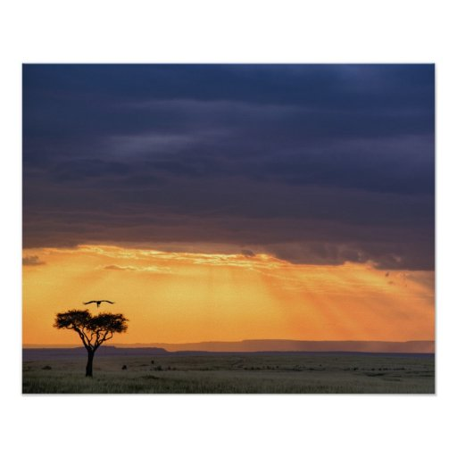 Panoramic view of Vulture and acacia tree Poster