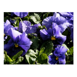 Pansies: Blue Violet Postcard