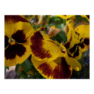 Pansies with Water Droplets Posters