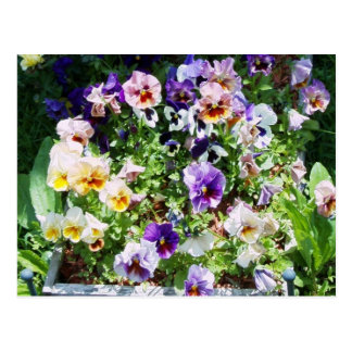 pansy bed post cards