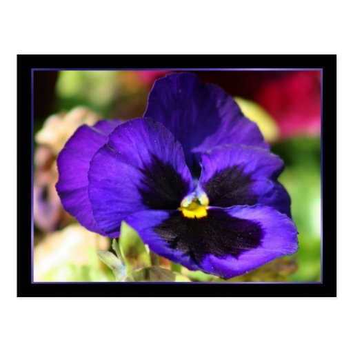 Pansy Flower Post Cards