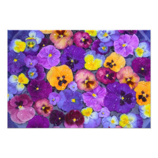 Pansy flowers floating in bird bath with dew photo print