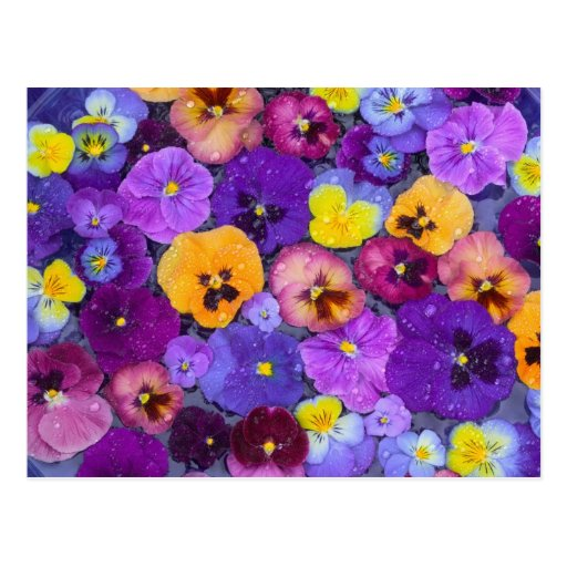 Pansy flowers floating in bird bath with dew post cards