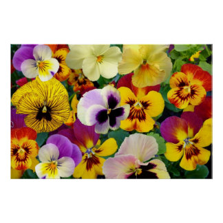 Pansy Flowers ~ Poster