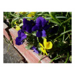 Pansy Flowers Poster