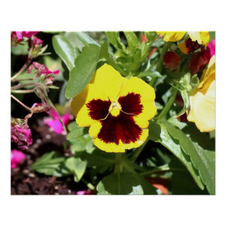 Pansy,