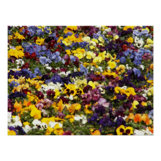Pansy Rainbow Posters