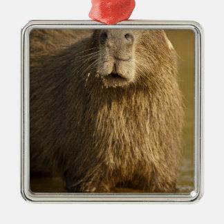 Pantanal, Brazil, Capybara, Hydrochoerus Ornaments