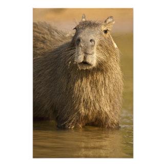 Pantanal, Brazil, Capybara, Hydrochoerus Photo Print