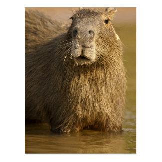 Pantanal, Brazil, Capybara, Hydrochoerus Postcard